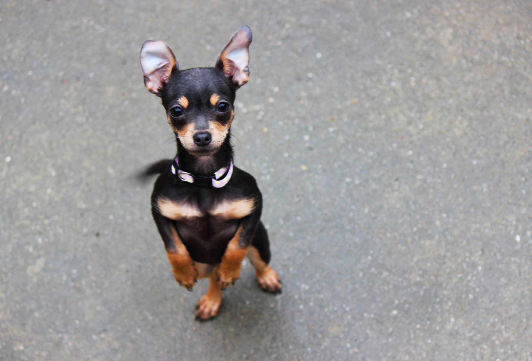 Mini Dobermann Pinscher
