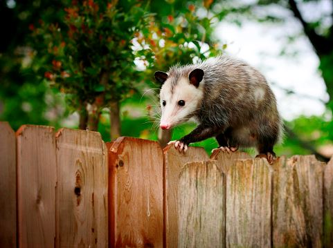 Opposum walking on top of a wooden fence