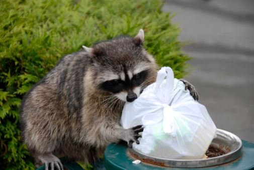 Raccoon holding a garbage bag